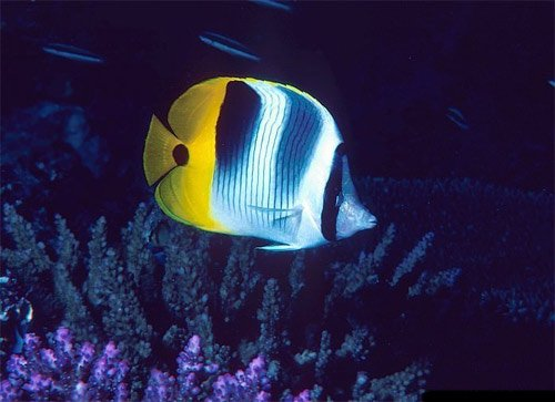 butterfly-fish-pig-faced